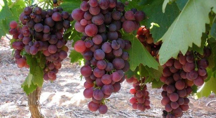 Frutta estiva e uva bio. Una campagna tra luci e ombre