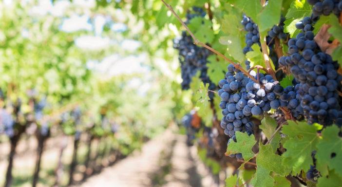 Valorizzazione del vino bio: intesa Federbio-UIV