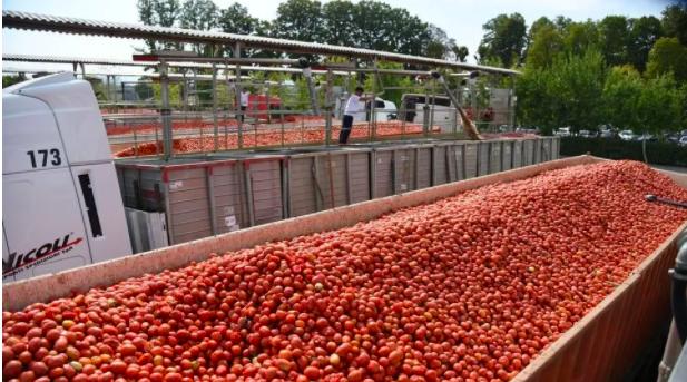 Pomodoro da industria nel Nord Italia: cresce la produzione di bio
