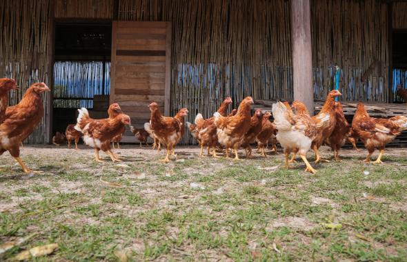 Eurovo, obiettivo 97% di allevamenti a terra, all'aperto e bio