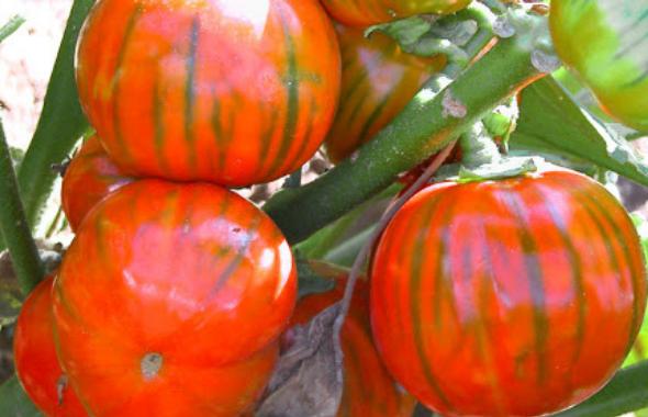 La Melanzana Rossa di Rotonda bio tra i prodotti più contraffatti dall'agro-pirateria